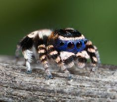 Jumping Spider color box