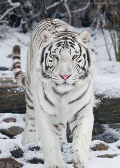 White Tiger in snow  (by sergei gladyshev on 500px)