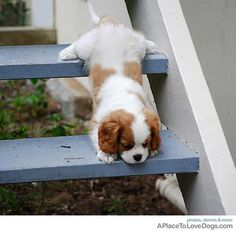 climbing king charles spaniel stairs. lol. oh, so cute!