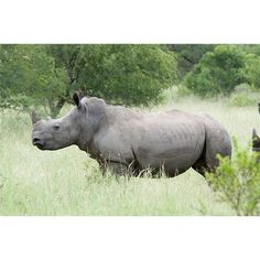 Survival mechanisms that have helped Rhinoceros survive in the wild through the long passage of time.