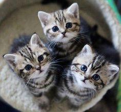 Tabby trio