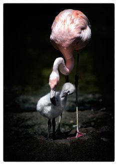 "A BABY FLAMINGO! What could be cuter? ""Watching Over You"" by Laurie Rubin Florida / FabFlorida"