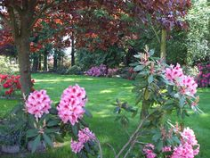 Rhododendrons in bloom at Sea Cliff Gardens Bed and Breakfast,  Port Angeles and Sequim, Washington
