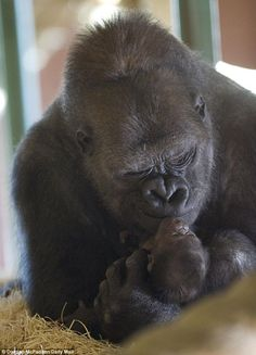 Tender love... This sweet baby was born as part of a successful breeding program in Ozala at the Twycross Zoo