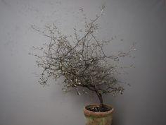 Corokia eller spøkelsestre er fortsatt trendy og populær Planter Pots, Indoor Gardening, Ideas, Thoughts, Interior Garden