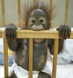 BABY ORANGUTAN. Did he just bite into an electrical cord in use????