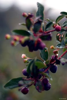 Cotoneaster Berries by rivermusic
