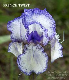 Inter-Species Hybrid Iris 'French Twist' (Baumunk, 2013)