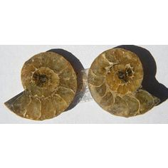 51.00ct ASEMROWENDE !!! Natural Sliced Madagascar amonite  !!! for R21.00