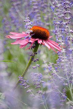 Echinacea purpurea 'Rubinglow' and Perovskia 'Little Spire' - © Julie Dansereau/GAP Photos