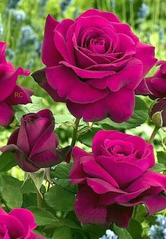 Captivating And Tantalizing Maroon Rose Flowers. Beautiful Rose Flowers, Wonderful Flowers, Pretty Roses, Romantic Roses, All Flowers, Magenta Flowers, Purple Rose, Flower Wallpaper, Trees To Plant