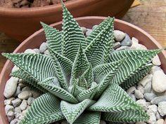 Haworthia limifolia var. striata - See more at: http://worldofsucculents.com/haworthia-limifolia-striata