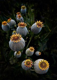 Heads up by Peter Daalder. Papaver somniferum seed pods - Pixdaus