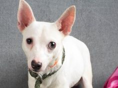 Adopt Billy, a lovely 8 months 7 days Dog available for adoption at Petango.com.  Billy is a Chihuahua, Short Coat / Terrier and is available at the National Mill Dog Rescue in Colorado Springs, Co. www.milldogrescue... #adoptdontshop #puppymilldog #rescue #adoptyourfriendtoday