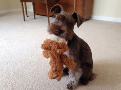 Such a gorgeous baby. Next schnauzer i get will be a liver schnauzer or liver peppered