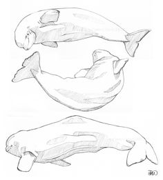 Some beluga sketches! Whale illustration Whale art Whale sketch