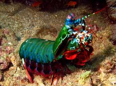 """The Harlequin Mantis Shrimp """"has the most sophisticated visual system in the world,"""" and may """"be able to distinguish up to 100,000 colours (compared to the 10,000 seen by human beings)."""""""