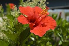 How to Propagate Hibiscus Plants