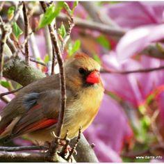 Female cardinal from the garden! #cardinal #animals #picoftheday #instabirds #instagood #birdsofinstgram #ornithology #garden #backyard #nature #wildlife #wildlifephotography #feather #fly #kings_birds #allmightybirds #bestbirdshots #DANTA