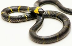 Texas Coral snake (Micrusrus tener; melanistic)