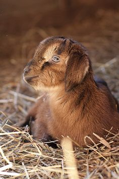 baby goat...nothing. cuter. exactly.   I will always love them...