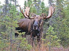 Alaskan Moose Facts, Distribution, Habitat, Size, Pictures | Coniferous Forest Moose Deer, Moose Hunting, Moose Antlers, Bull Moose, Moose Art, Alaskan Moose, Deer Species, Moose Pictures, Monsters