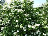 American Cranberrybush (Viburnum opulus var. americanum) (Synonym: Viburnum trilobum), self-fertile