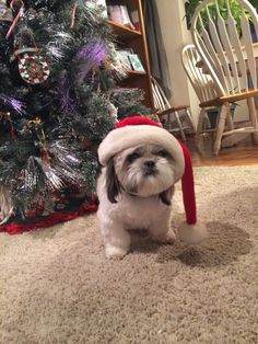 Muffy in the Christmas spirit! | Shih Tzu Friendzy