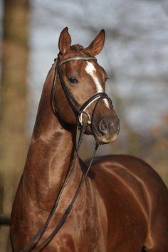 Hanoverian stallion Dylano