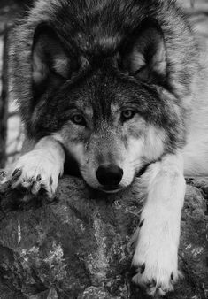 Wolf Photos, Wolf Pictures, Animal Pictures, Animals Of The World, Animals And Pets, Cute Animals, Beautiful Creatures, Animals Beautiful, Wolf Black And White