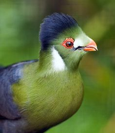 The White-cheeked Turaco (Tauraco leucotis) is a species of bird in the Musophagidae family. It is found in Eritrea, Ethiopia, and Sudan. Its call sounds somewhat like a wild monkey