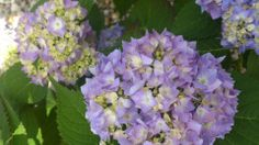 Hydrangea macrophylla 'Endless Summer',