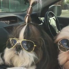 """Explore our web site for even more details on """"Shih Tzus Puppies"""". It is an excellent place to get more information. Cute Funny Dogs, Cute Funny Animals, Cute Baby Animals, Animals And Pets, Cute Cats, Perro Shih Tzu, Shih Tzu Puppy, Shih Tzus, Cute Puppies"""