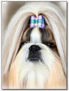 "Shih Tzu~Aga's a Dream Come True ""Caesars"" modeling Full Size Dog Bow."