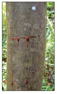 Benefits of Dragon's Blood from The Sangre De Drago tree in the Amazon rainforest...says its good for internal bleeding, cuts, GI issues, female excessive bleeding, herpes and even high blood pressure.