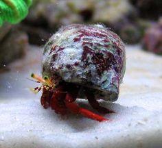 Red hermit crab.