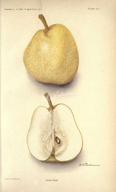 Ayer Pear - high resolution image from old book.Size in pixels: Floral Printables, Printable Flower, Ornament Crafts, Antique Art, Vintage Paper, Flower Art, Pear, Beautiful Pictures, Clip Art