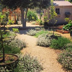 It's hard to believe that it's been only 6 months since we planted the rosemary and sage. More pictures of my garden on the blog today. #patinafarm #ojai