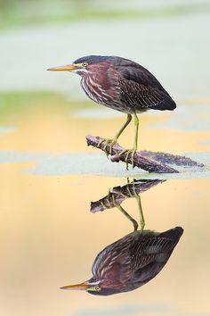 Green Heron - Copyright Danny Brown