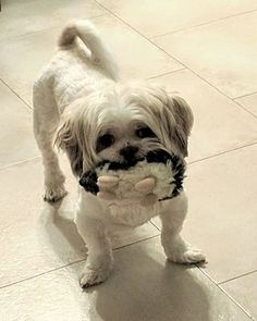 Pictures of MAX a Shih Tzu for adoption in Wooster, OH who needs a loving home.