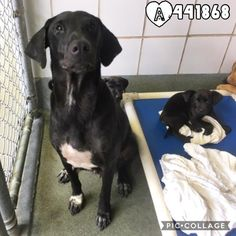 """7/15/17 SAN ANTONIO TX FOSTER!!! PLEASE‼️ PAST DUE!!! Mama & 7‼️ MARIE -ID #A441868 -FEMALE-2-YR+7-PUPS-LAB BLEND MARIE AKA """"Morgan"""" Is A Mother of 7-Pups Who Just Wants A Safe Place For Her Babies To Grow In Lab Blend, 2-Years-Old, 53-Pounds."""" #PAST #DEADLINE #Needs #CommitmentBy #930AM & #PickedUpBy #630PM #Wed #July12 To Adopt, Foster, Or Rescue, EMAIL: placement@sanantoniopetsalive.org"""