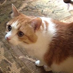Tabby is an adoptable Domestic Short Hair - Orange And White Cat in Nashville, TN.  This is a courtesy posting. Tabby is not one of NCR's regular foster cats. Tabby is a great cat at thirteen! She is ...