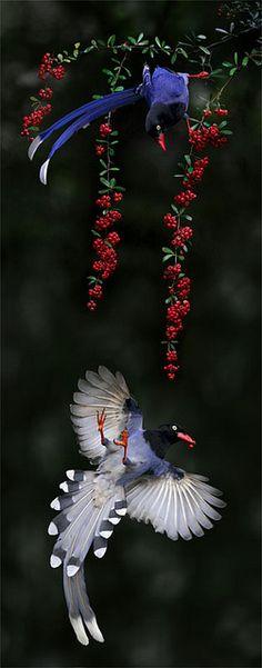 Taiwan Blue Magpie via Flickr