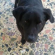 Toronto, Ontario - Labrador Retriever Mix. Meet Buly, a for adoption. https://www.adoptapet.com/pet/21035037-toronto-ontario-labrador-retriever-mix