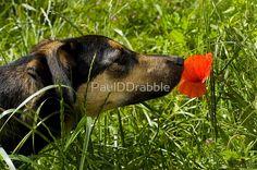 Dog Smells Poppy