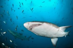 Great White Sharks Are Back Has a marine mammal conservation program become too successful?