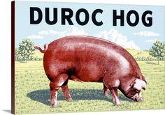 Duroc Hog, Vintage Poster