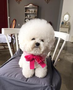 See this Instagram photo by @bichon_tori • 4,816 likes