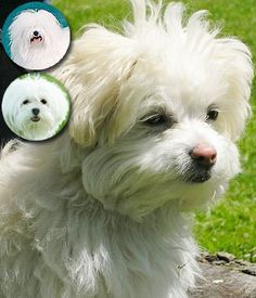 The Cotonese is a mix of a purebred Coton De Tulear and a purebred Maltese. Cute Little Dogs, Coton De Tulear, White Dogs, Small Dog Breeds, Bolognese, All Dogs, Puppy Love, Doggies, Teddy Bear