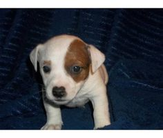Precious! Jack Russell Puppy! Looks like my old puppy penny until someone stole her